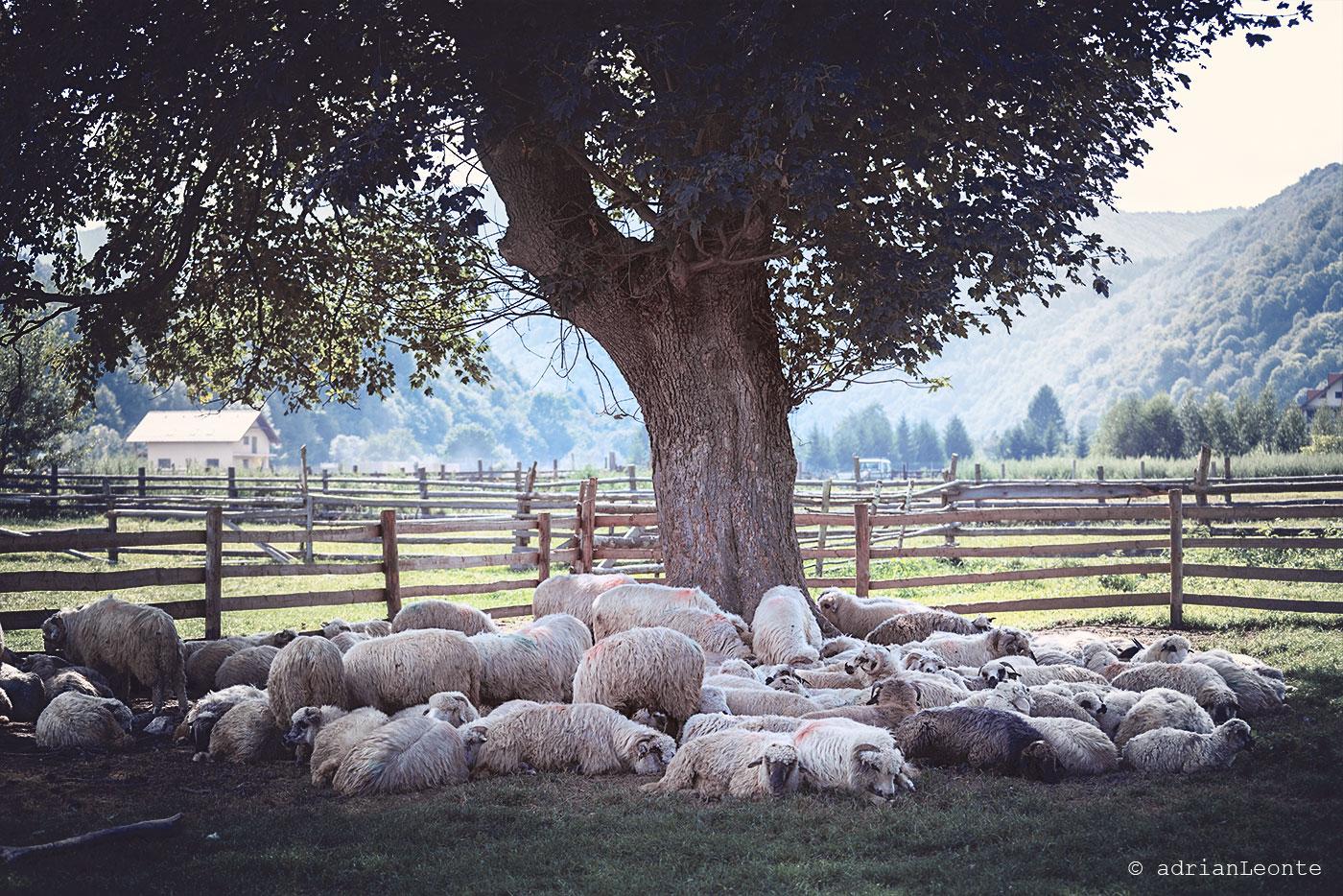 pastorale, plaiul foii, piatra craiului, toamna